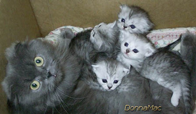 Scottish Fold with 3 kittens