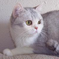 Purrceptive British Shorthair Kittens & Cats California, USA