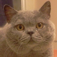 blue British Shorthair boy
