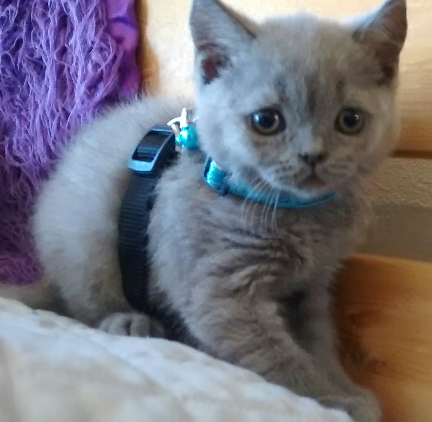 British Blue Kittens Available for Sale in California